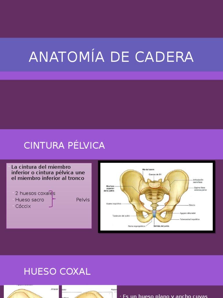 Anatomía de Cadera