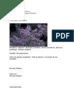 BORRAJA ( Borrago Officinalis )