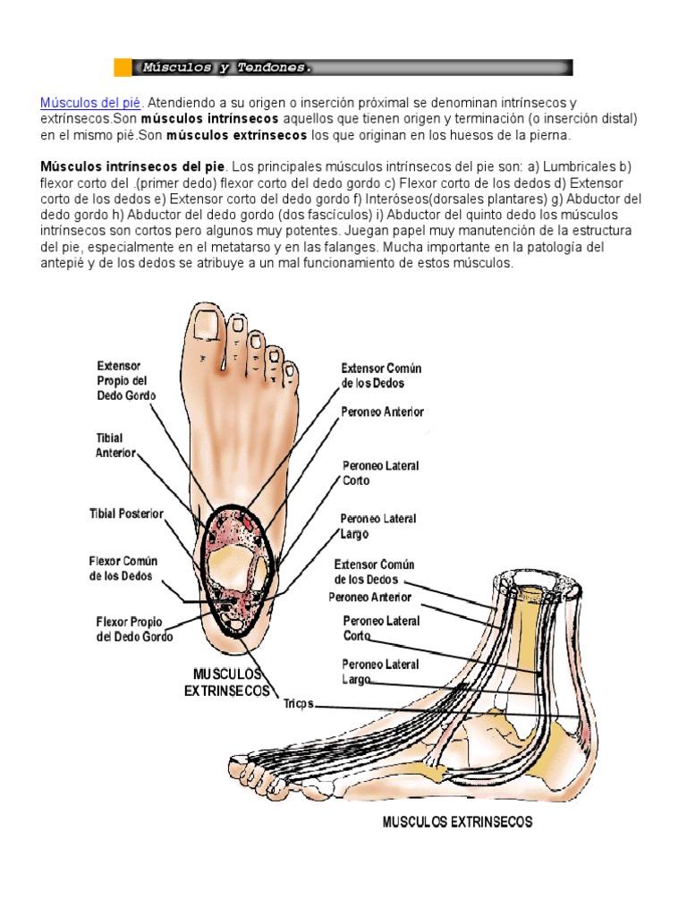 Músculos Del Pié