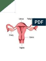 gambar uterus.docx