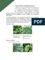 Brazo Negro Por Lasiodiplodia en Manzana