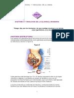 Anatomia y Fisiología de La Glandula Mamaria