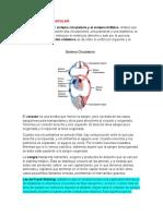 anatomía de corazón