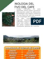 Cronologia Del Cultivo Del Cafe