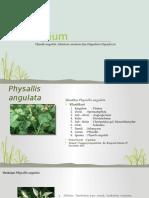 Herbarium Physallis Angulata