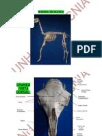 Anatomia Del Camelido Alpaca