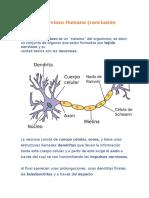 Sistema Nervioso Humano