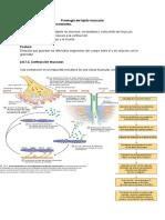Fisiología del tejido muscular