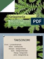 Selaginella Sp
