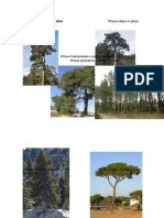 tipos de pinos que existen