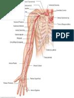 arterias extremidad superior