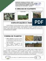 Palma Forrageira Orelha