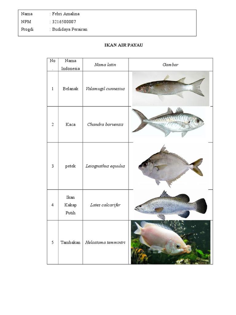 Jenis Ikan Air Payau Dan Gambarnya