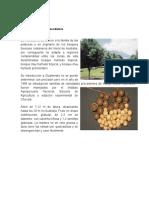 Produccion de La Nuez de Macadamia
