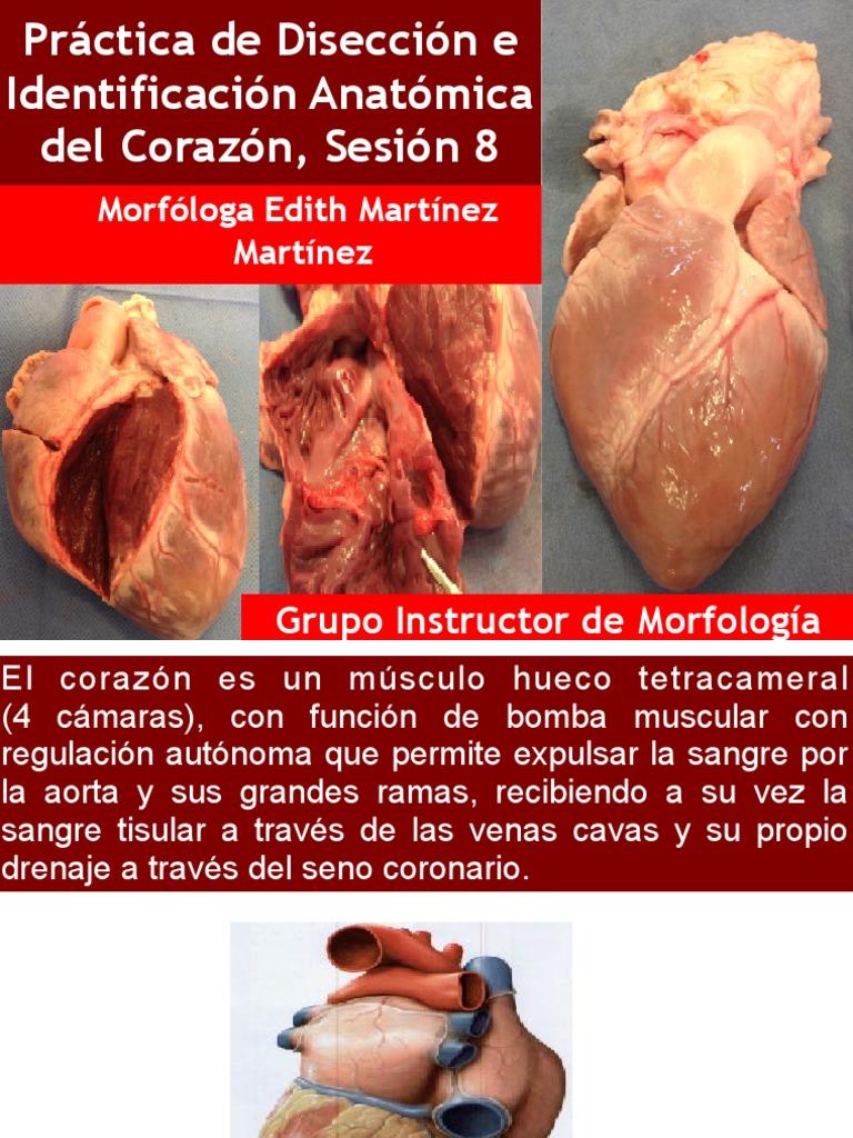 Guia de la Disección en corazón de cerdo