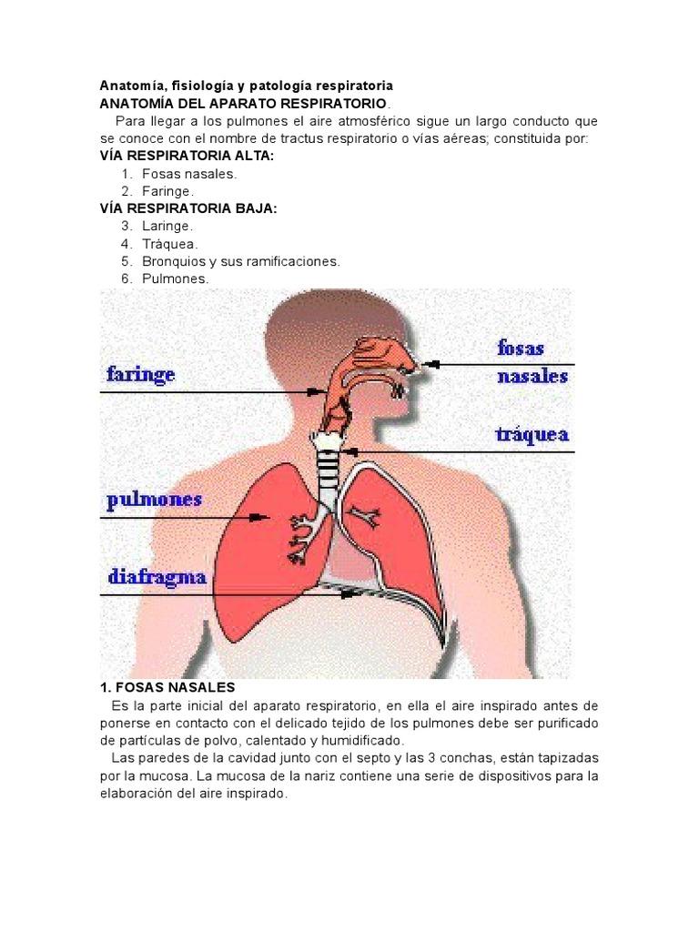 Dorable Anatomía De Las Vías Respiratorias Broncoscopia Adorno ...