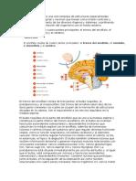 El Sistema Nervioso Es Una Red Compleja de Estructuras Especializadas