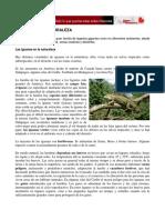 Iguanas en La Naturaleza
