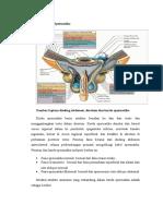 Anatomi Korda Spermatika