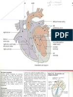Heart Diagram Iniation of Heart Beat