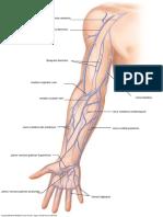 vein upper anatomy 1 13