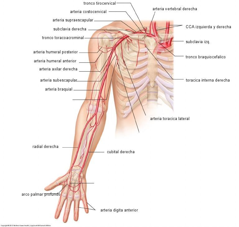 Magnífico Arteria Axilar Bosquejo - Anatomía de Las Imágenesdel ...