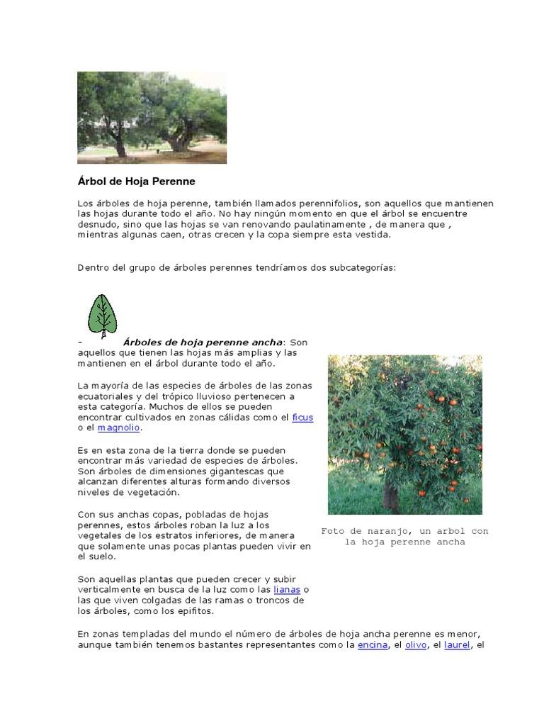 árbol De Hoja Perenne