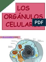 Tema 10 Los Orgc3a1nulos Celulares