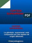 corteza-suprarrenal1-azul-1198448637582697-2
