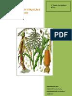 Amélioration variétale du maïs