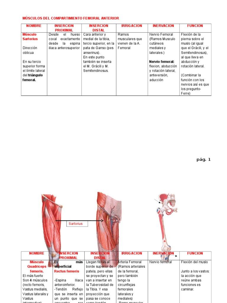 Músculos Del Compartimiento Anterior