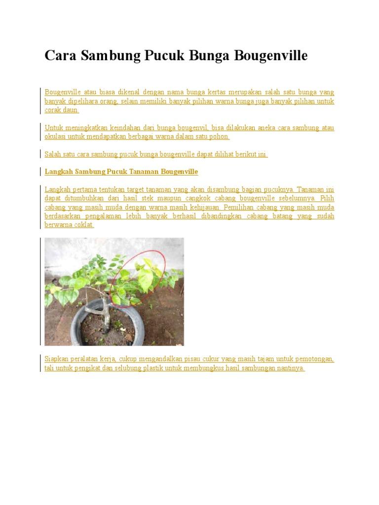 Cara Sambung Pucuk Bunga Bougenville