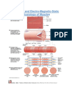 Anatomy and Electro-Magnetic-Static Physiology of Muscles