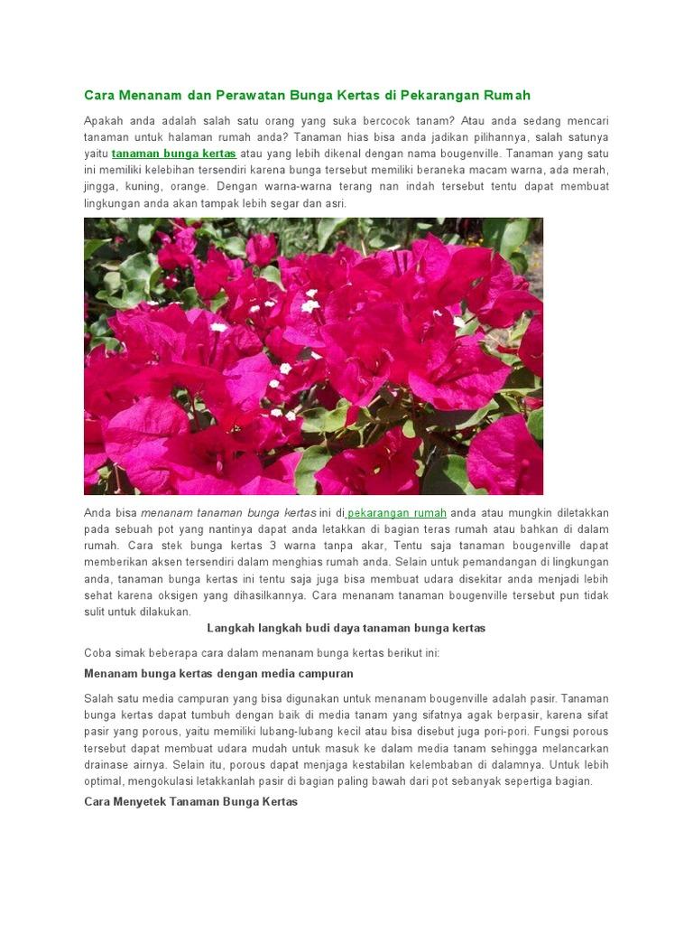 Cara Menanam Dan Perawatan Bunga Kertas Di Pekarangan Rumah