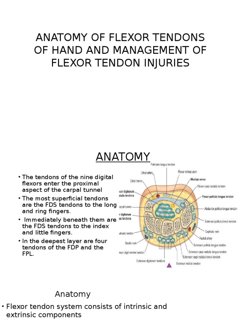 Flexor Tendon Injury And Its Management Musculoskeletal System