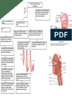 Transcurso Del Bolo Alimenticio Por El Tubo Digestivo