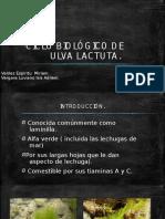ULVA LACTUCA (1)