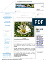Bunga Pukul Delapan ( Em Turnera Subulata Em ) Putih