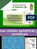 clulasgameticasysomticas-140817104124-phpapp02