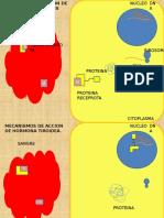 Mecanismos de acción hormonal - 4 animaciones.pptx