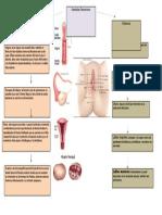 genitales femeninos.docx