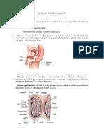 Aparatul Genital Masculin (1)