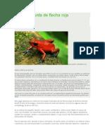 Rana de Punta de Flecha Roja