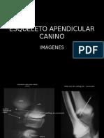 Esqueleto Apendicular Canino