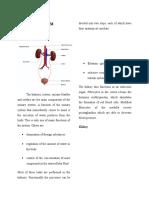 Urinary System#1