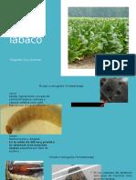 4 Plagas Del Tabaco y Arroz (4)