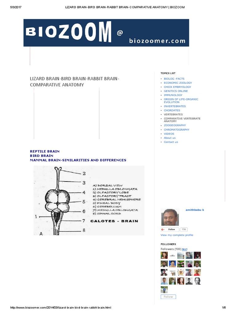 Lizard Brain-bird Brain-rabbit Brain-comparative Anatomy _ Biozoom ...