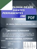 12. Morfologia de Los Dientes Permanentes Incisivos,Canino