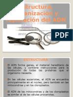 1 Estructura Organizacion y Replicacion Del ADN