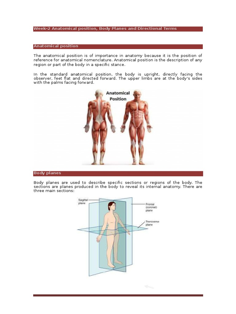 Week 2 Anatomical Position Body Planes And Directional Terms For